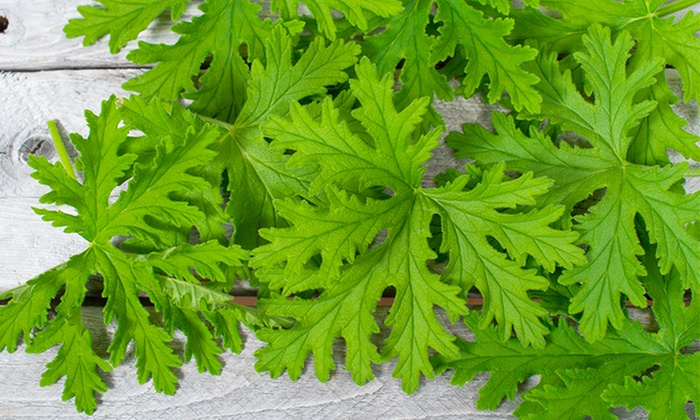 Is Citronella Safe For Dogs? or A Dog Repellent for Yard