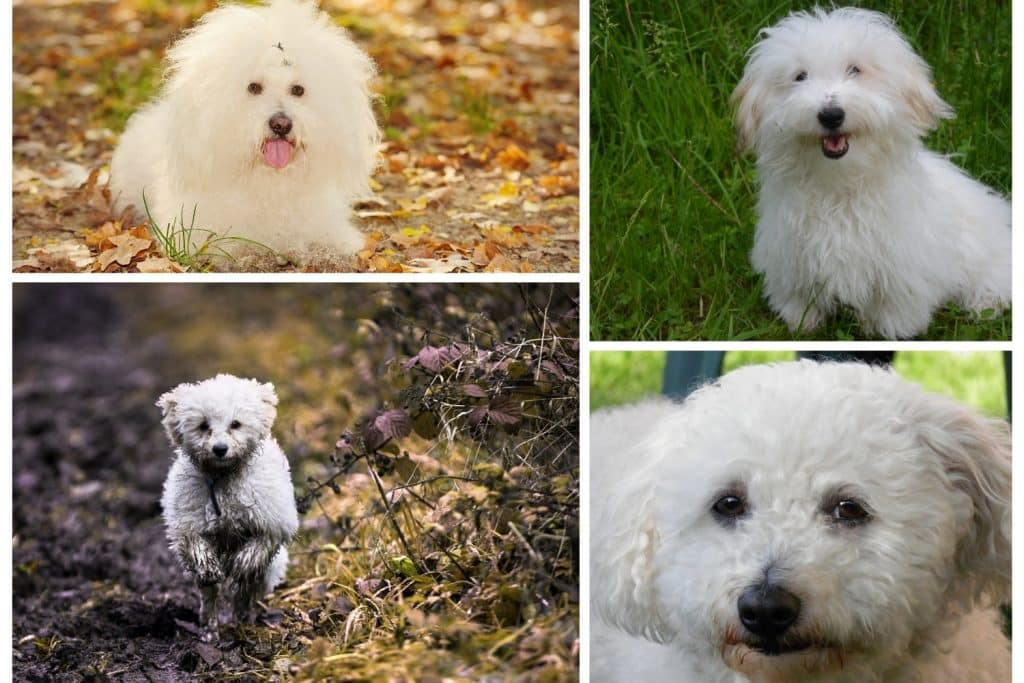 Small dog breeds with long hair
