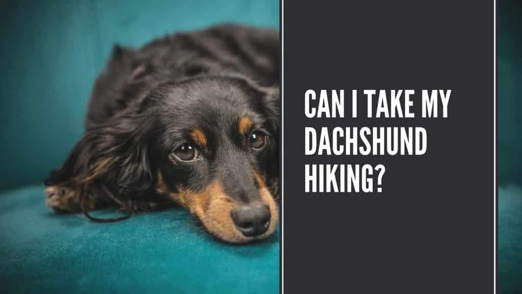 Can I Take My Dachshund Hiking