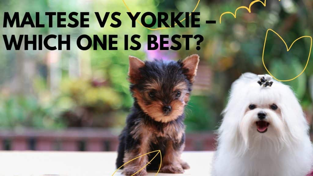 Maltese vs Yorkie Which One is Best