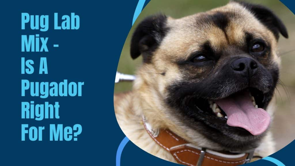 Pug Lab Mix – Is A Pugador Right For Me