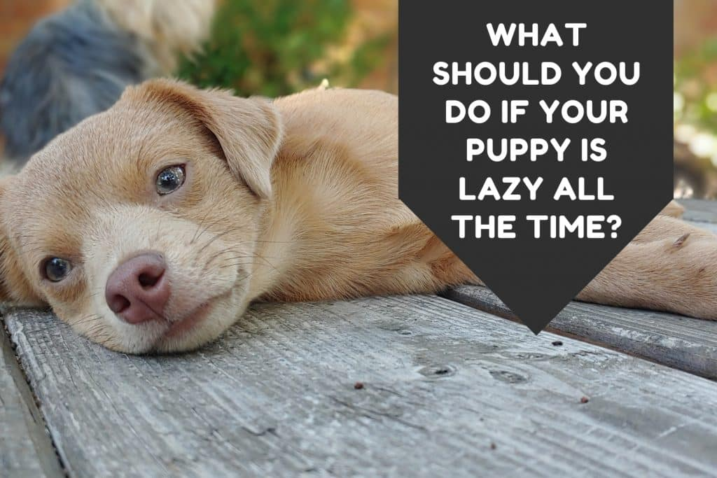What Should You Do If Your Puppy Is Lazy All The Time