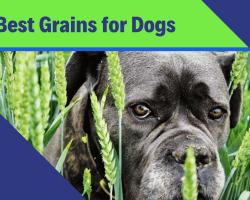 Best Grain for Dogs