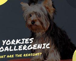 are yorkies hypoallergenic