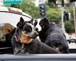 dog barrier for pickup truck